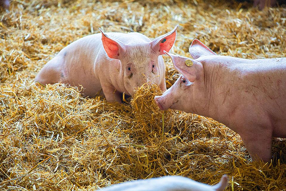 Glückliche Schweine bei Metzgerei Strobel