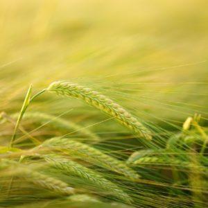 Aberglaube: Orakel sollten vorhersagen, welches Getreide auszusäen sei.