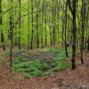 Naturerlebnis am DÖ 98: Hier roch es verdächtig nach Bärlauch.